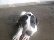 Bull Arab puppies for sale Good natured