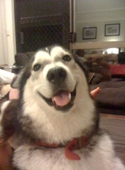 Alaskan Malamute - 2 year old desexed female - free to good home